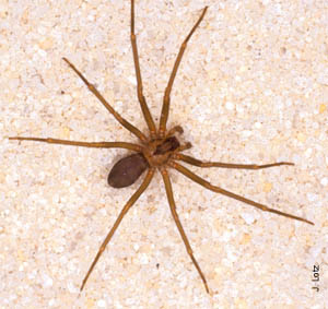 Brown Spiders in Wisconsin http://our963.wordpress.com/2009/11/27/phobia-phobia/
